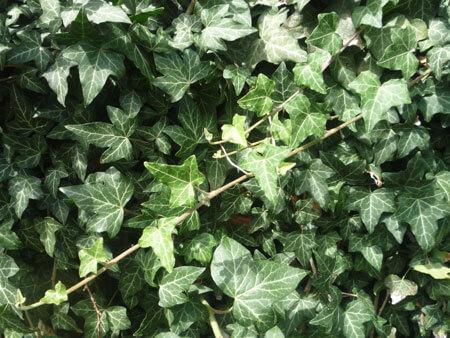 Alte hausmittel kr uterkunde efeu - Efeu zimmerpflanze giftig ...